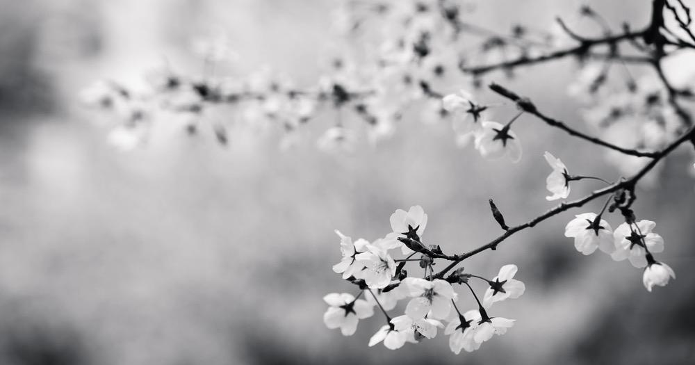 cherry blossom B/W